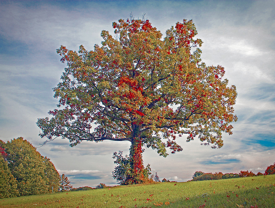 Maudslay Tree